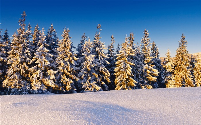 spruce trees covered in snow-the cold winter landscape Desktop Views:5667