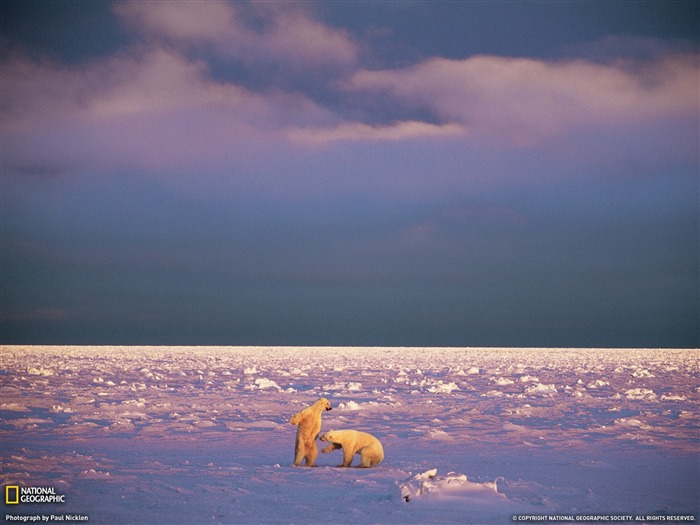 Sparring Polar Bears Svalbard-Landscape photography theme wallpaper Views:3911