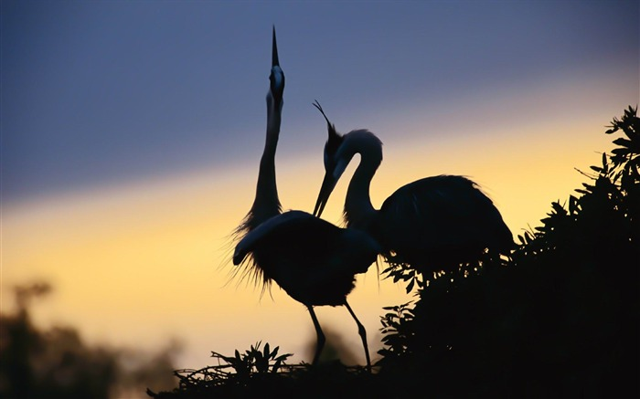 a pair of cranes-Amazing bird photography wallpaper Views:5209