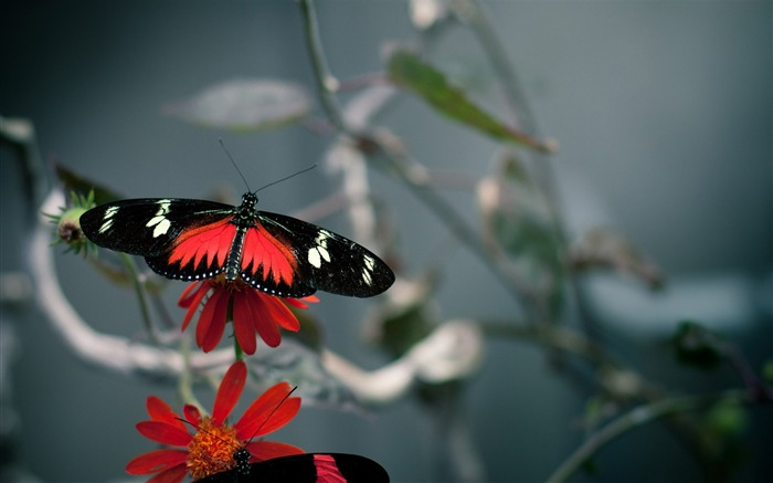 beautiful butterfly -the beautiful butterfly desktop wallpaper Views:4172
