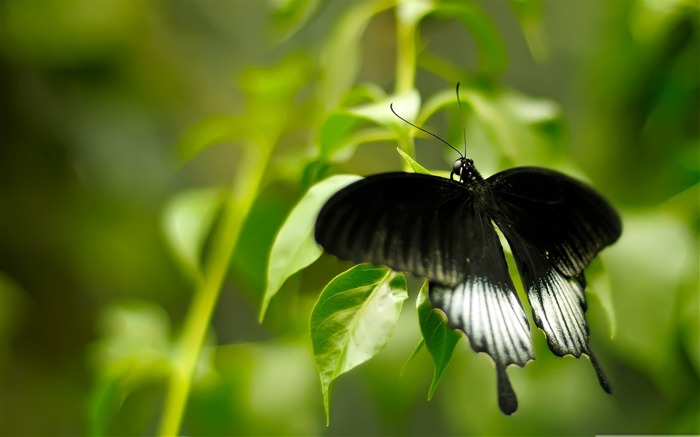 black and white butterfly-the beautiful butterfly desktop wallpaper Views:5951