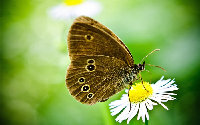 butterfly on a wild daisy-the beautiful butterfly desktop wallpaper Views:5705