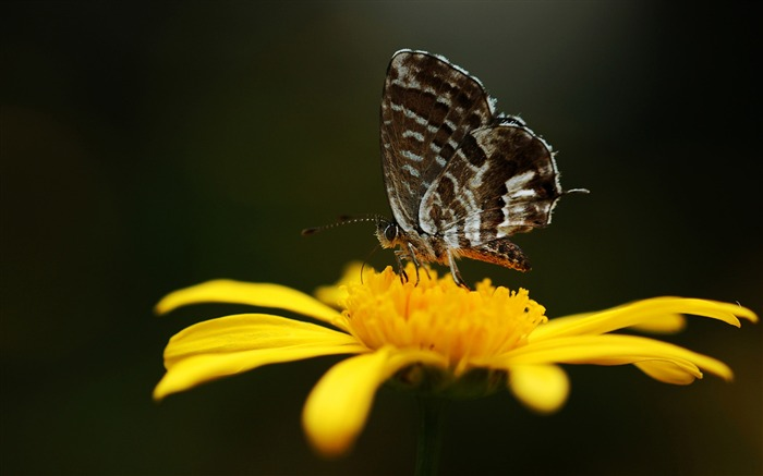 butterfly on a yellow flower-the beautiful butterfly desktop wallpaper Views:4428