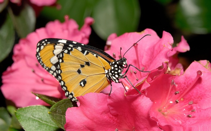 butterfly on pink flower-the beautiful butterfly desktop wallpaper Views:4574
