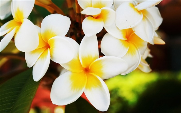 exotic flowers plumerias-Amazing Flowers Photography Photo Wallpaper Views:7598