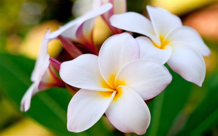 hawaiian plumeria-Amazing Flowers Photography Photo Wallpaper Views:20187