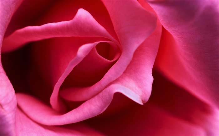 hot pink rose close up-Amazing Flowers Photography Photo Wallpaper Views:6207