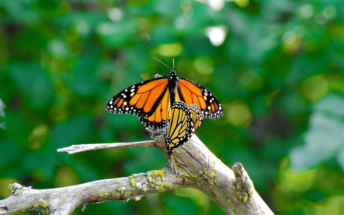 monarch butterflies mating-the beautiful butterfly desktop wallpaper Views:6297