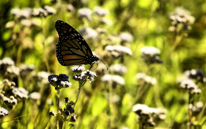 monarch butterfly on a flower-the beautiful butterfly desktop wallpaper Views:3725