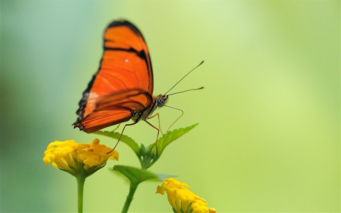 orange butterfly-the beautiful butterfly desktop wallpaper Views:4619