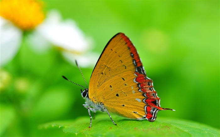 orange butterfly on a leaf-the beautiful butterfly desktop wallpaper Views:4981