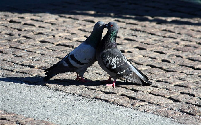 pigeons love-love theme desktop wallpaper Views:5144