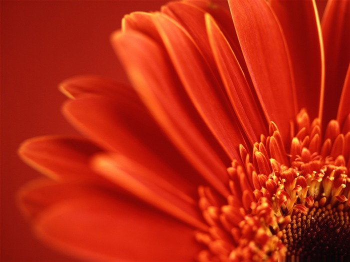 red gerbera-Amazing Flowers Photography Photo Wallpaper Views:5053