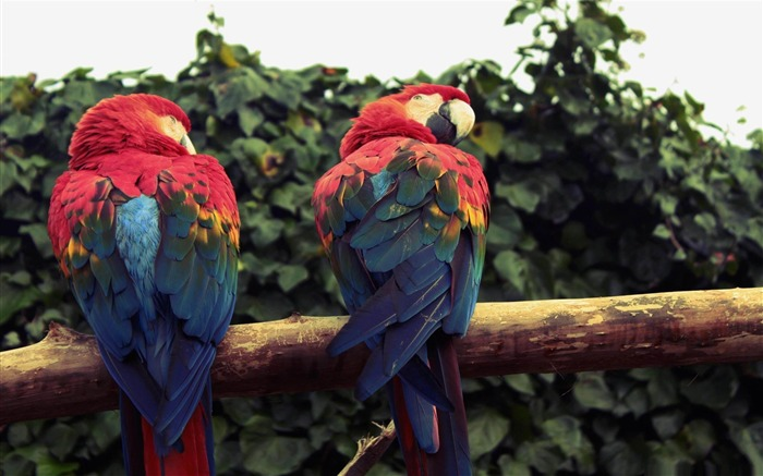scarlet macaw parrots-Amazing bird photography wallpaper Views:4783