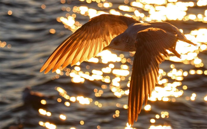 seagull flying-Amazing bird photography wallpaper Views:3618