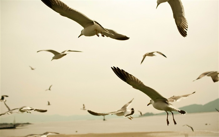 seagulls flying on the beach-Amazing bird photography wallpaper Views:3777