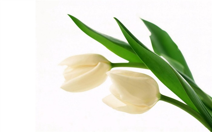 white tulips-Amazing Flowers Photography Photo Wallpaper Views:7511