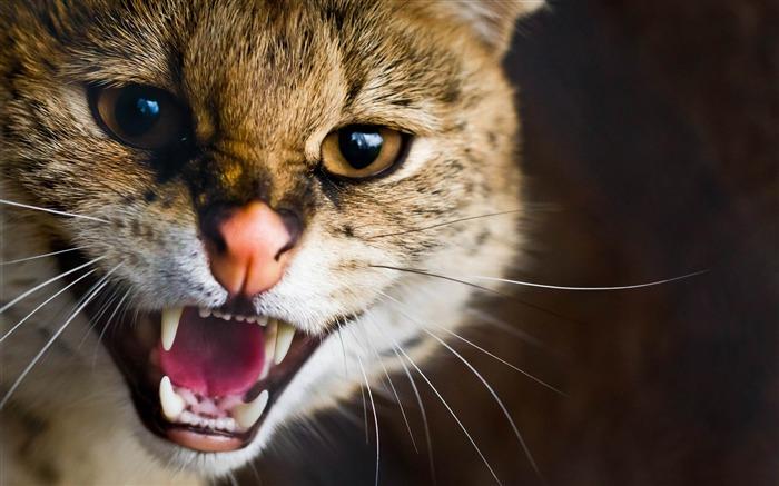 愤怒的猫咪-野生动物桌面壁纸