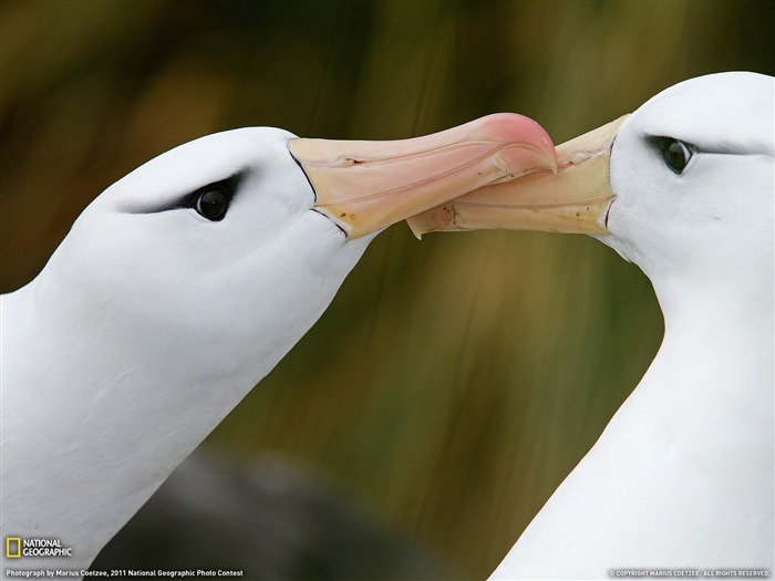 Black-Browed Albatrosses South Georgia-National Geographic magazine Views:4871