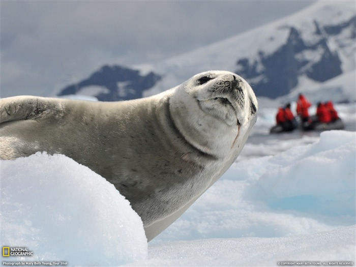 Crabeater Seal Antarctica-National Geographic magazine Views:4632