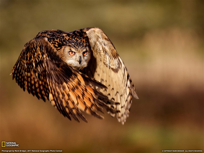 Eagle Owl-National Geographic magazine Views:6123
