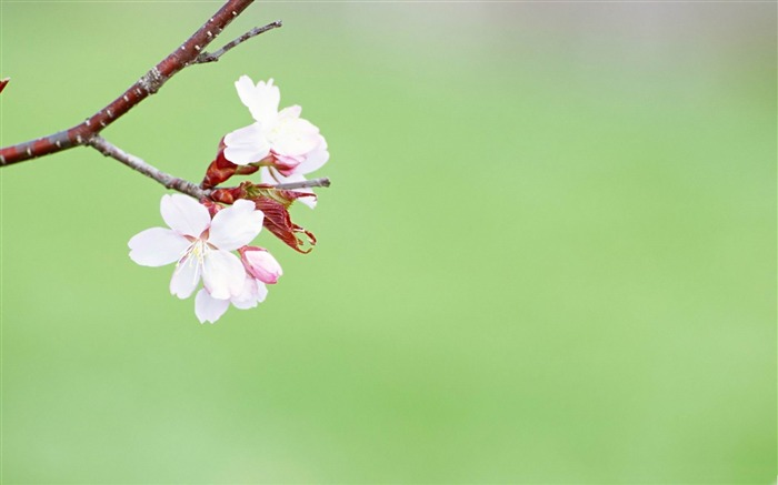 Early spring-spring theme Desktop wallpaper Views:6264