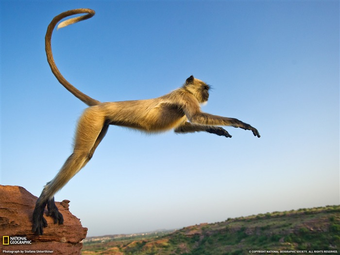 Leaping Langur India-National Geographic magazine Views:6313