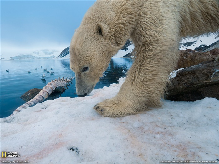 Polar Bear With Whale Bone-National Geographic magazine Views:6108