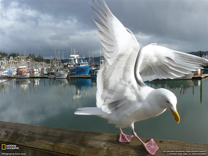 Seagull and Boats-National Geographic magazine Views:3997
