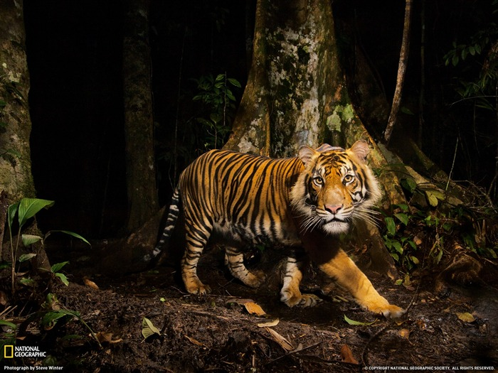 Tiger Indonesia-National Geographic magazine Views:14468