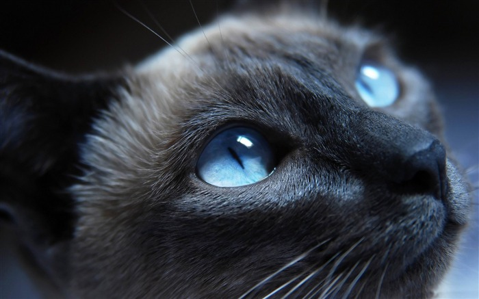 beautiful cat portrait-Cute pet cat desktop pictures Views:10548