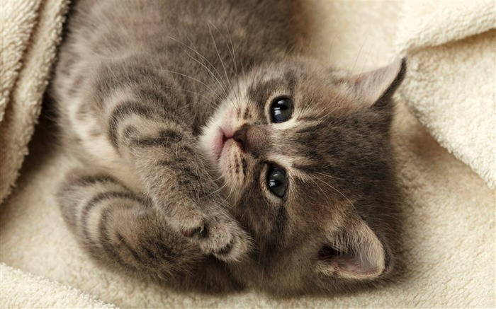 cutest kitten-Cute pet cat desktop pictures Views:92147