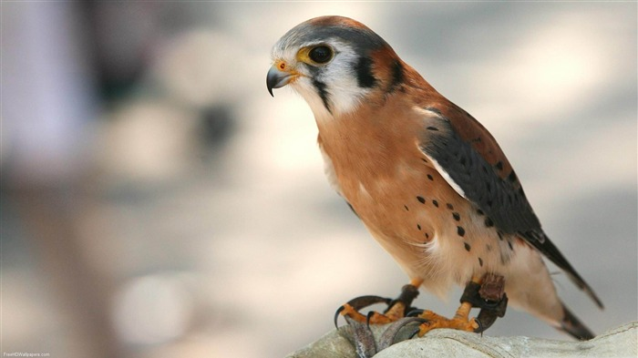 elite falcon-Beautiful bird photography wallpaper Views:5765