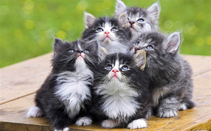 fluffy kittens-Cute pet cat desktop pictures Views:5731