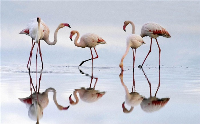 greater flamingos fuente de piedra lagoon spain-Beautiful bird photography wallpaper Views:5302