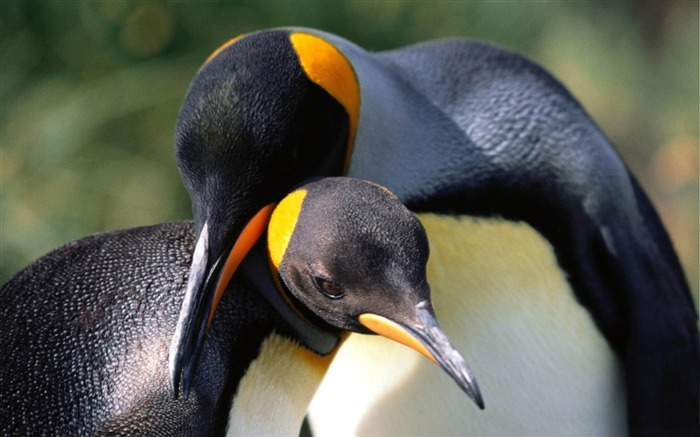 king penguins love-Beautiful bird photography wallpaper Views:5041