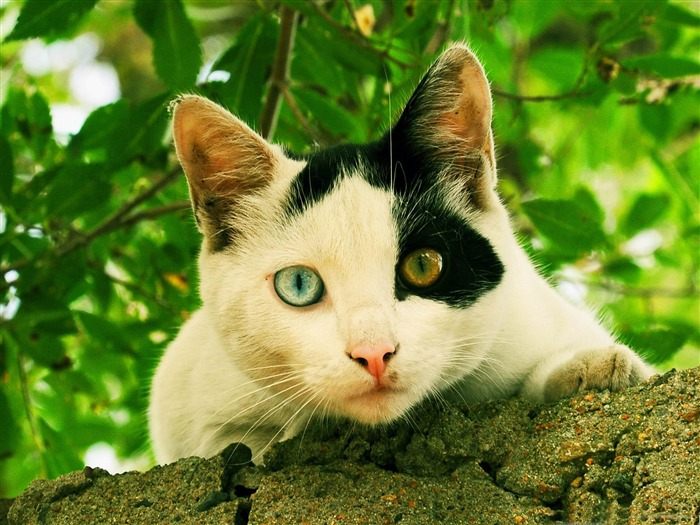 odd eyed cat-Cute pet cat desktop pictures Views:5792