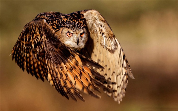 owl-Beautiful bird photography wallpaper Views:8486