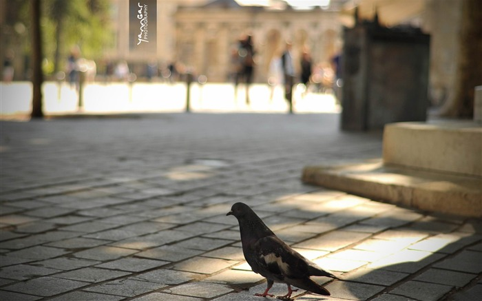 pigeon-Beautiful bird photography wallpaper Views:5466