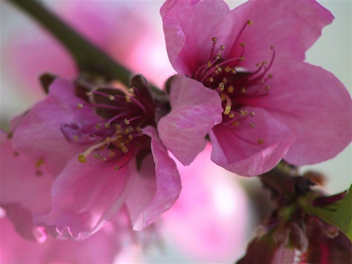 pink flowers-spring theme Desktop wallpaper Views:6239
