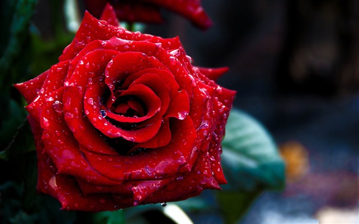 Valentines Day flowers photography picture Views:9415