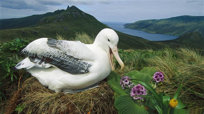 royal albatross campbell island new zealand-Beautiful bird photography wallpaper Views:7269