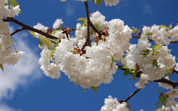 sakura against the blue sky-spring theme Desktop wallpaper Views:7277