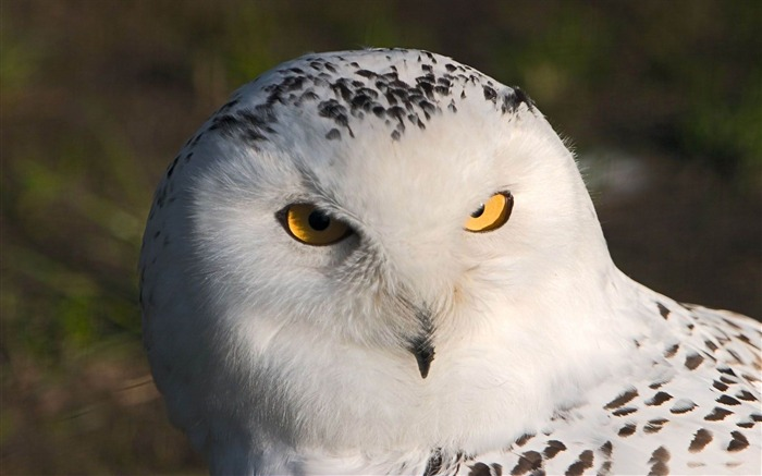 snowy owl-Beautiful bird photography wallpaper Views:4870