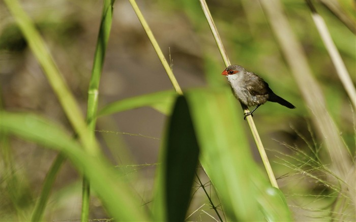 st helena waxbill-Beautiful bird photography wallpaper Views:3754