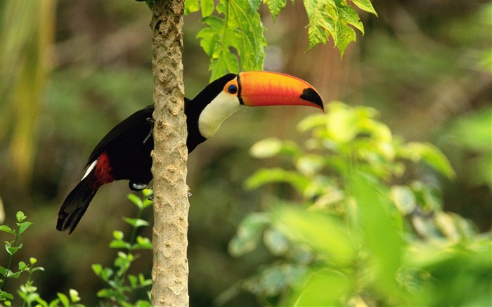 toco toucan in the tropical forest-Beautiful bird photography wallpaper Views:7561