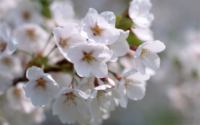 white blossom flowers-spring theme Desktop wallpaper Views:3907