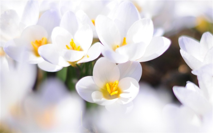 white crocus-spring theme Desktop wallpaper Views:4569