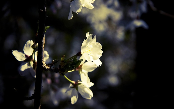 white flowers-spring theme Desktop wallpaper Views:4494