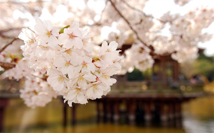 Beautiful Japanese cherry blossom season wallpaper 01 Views:6954